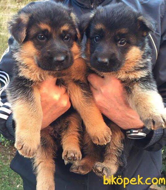 Düşük Bel Mükemmel Alman Çoban Köpeği Yavrularımız 2