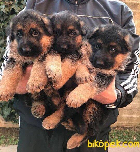 Düşük Bel Mükemmel Alman Çoban Köpeği Yavrularımız 3