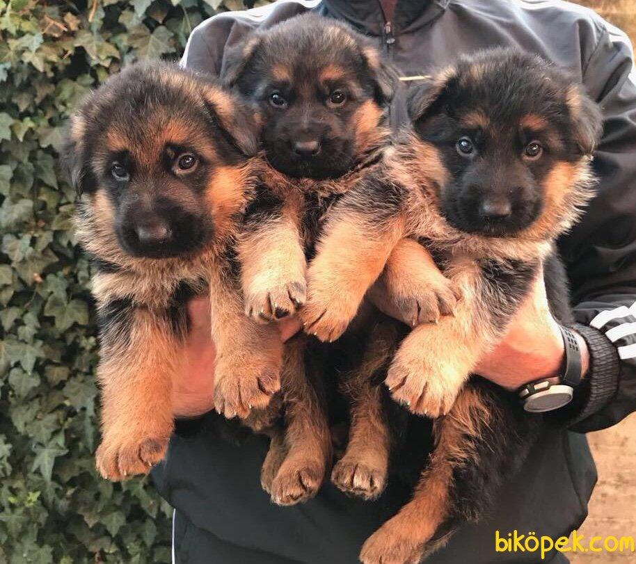 Düşük Bel Mükemmel Alman Çoban Köpeği Yavrularımız 1