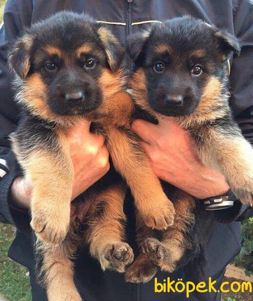 Düşük Bel Mükemmel Alman Çoban Köpeği Yavrularımız 4