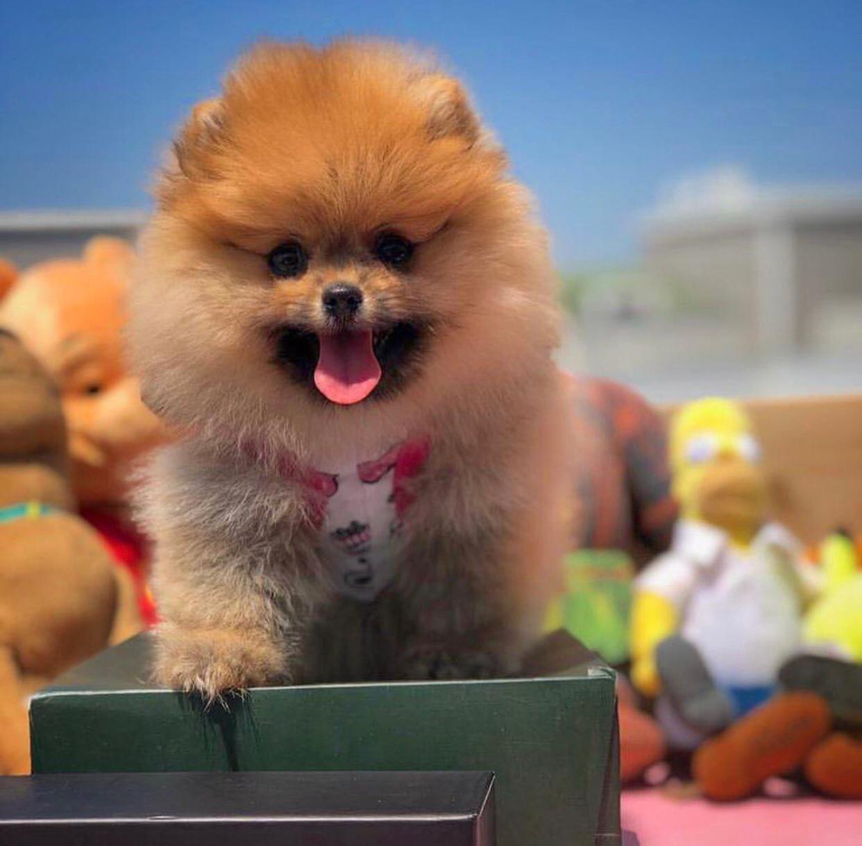 Safkan Irk Garantili Pomeranian Yavruları 1
