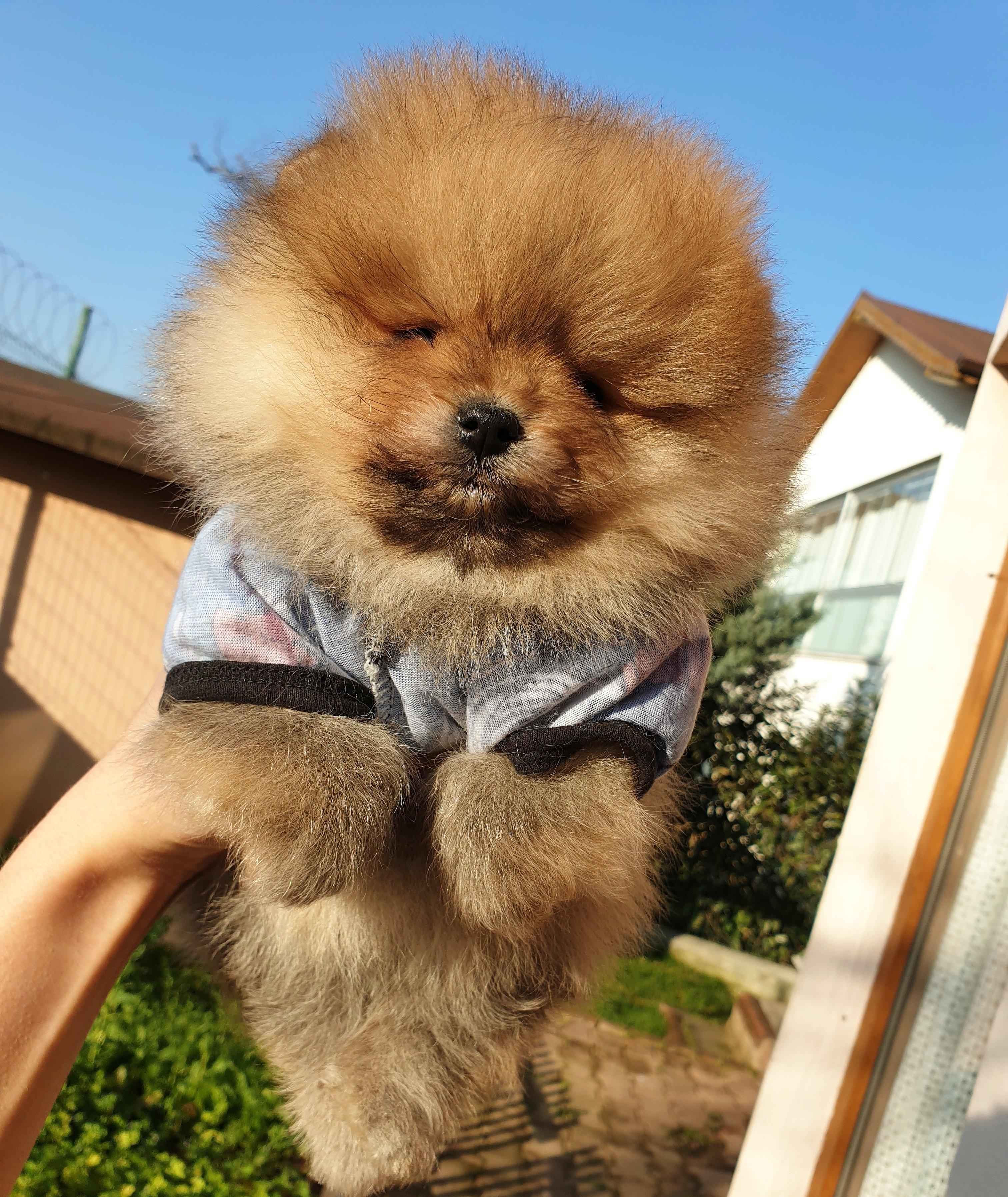 Satılık Pomeranian Boo Teddy Bear Yavrular 5