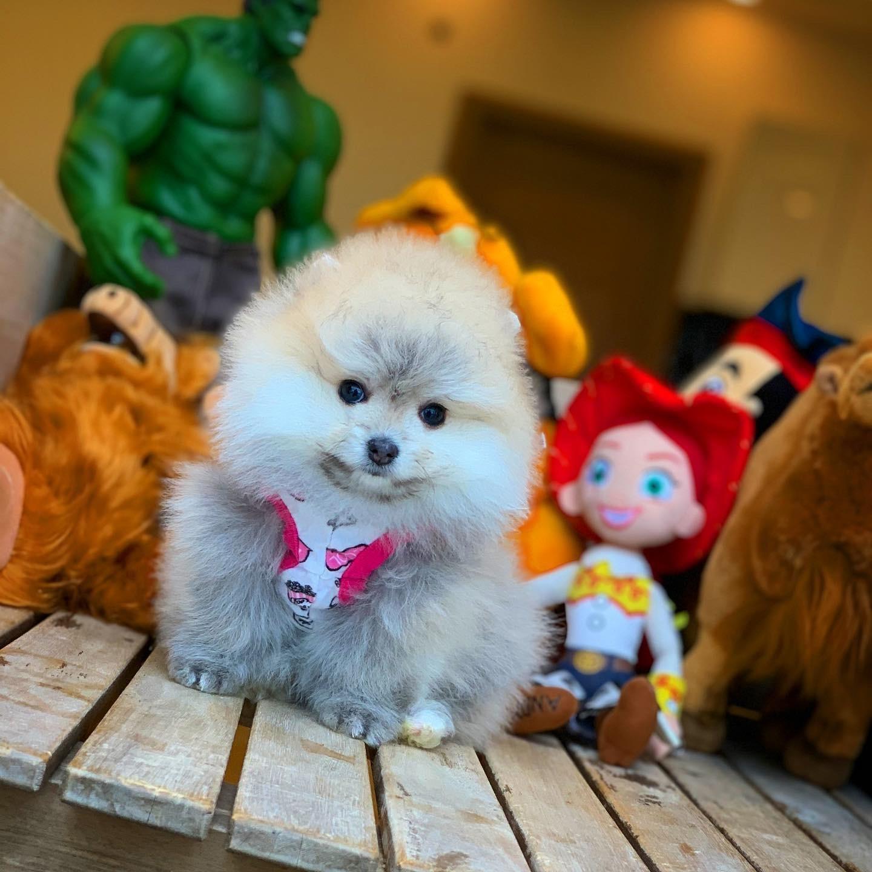 Muhteşem Kalitede Olan Pomeranian Boo Yavrularımız 2