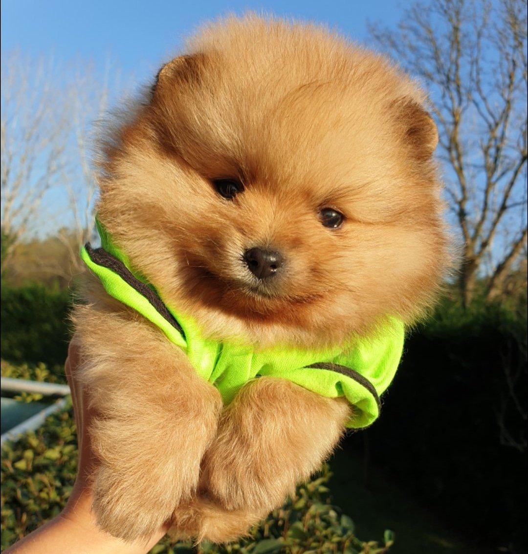 Satılık Pomeranian Boo Teddy Bear Yavrular 4