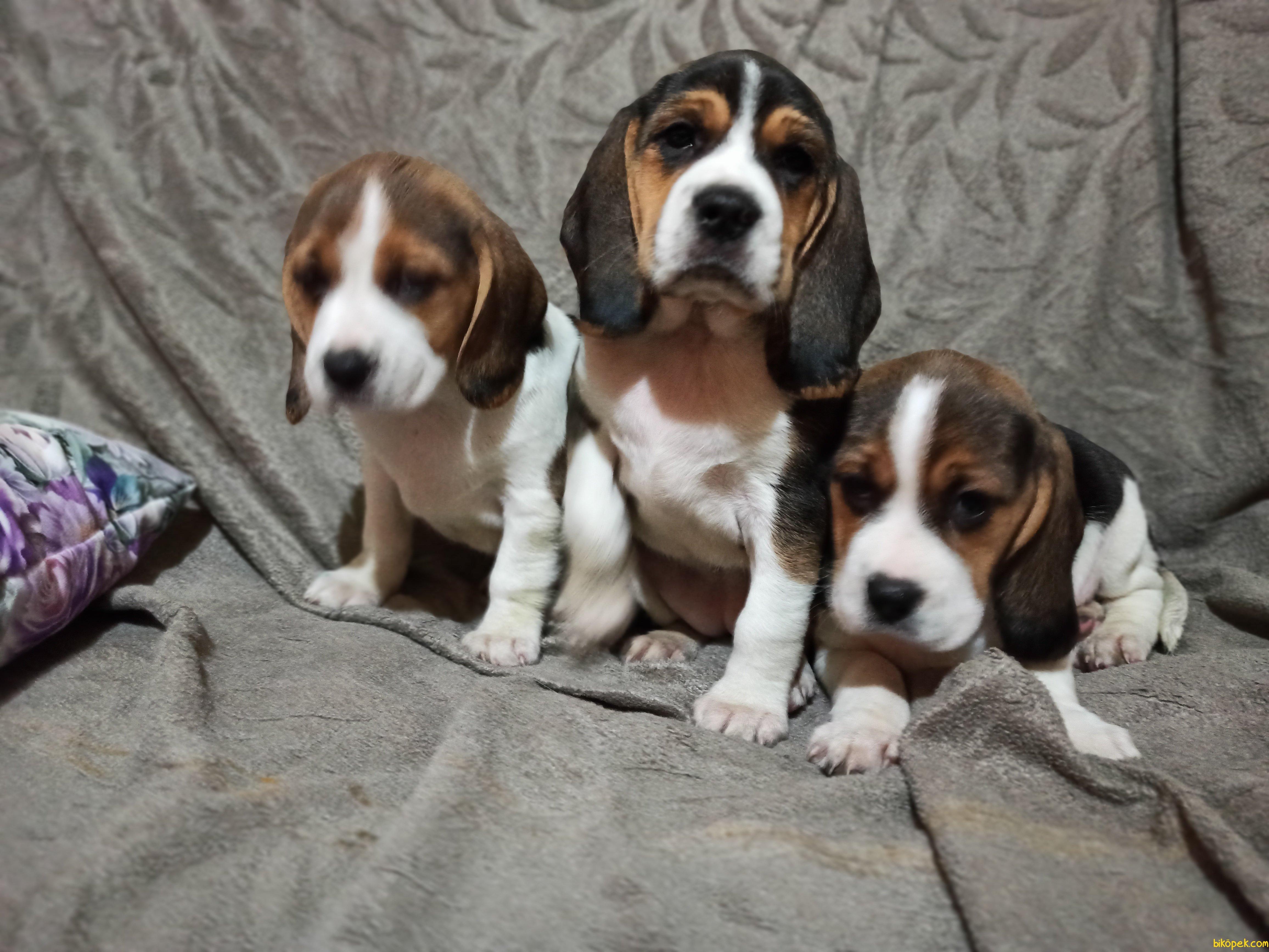 Elizabeth Beagle Yavrularımız 3