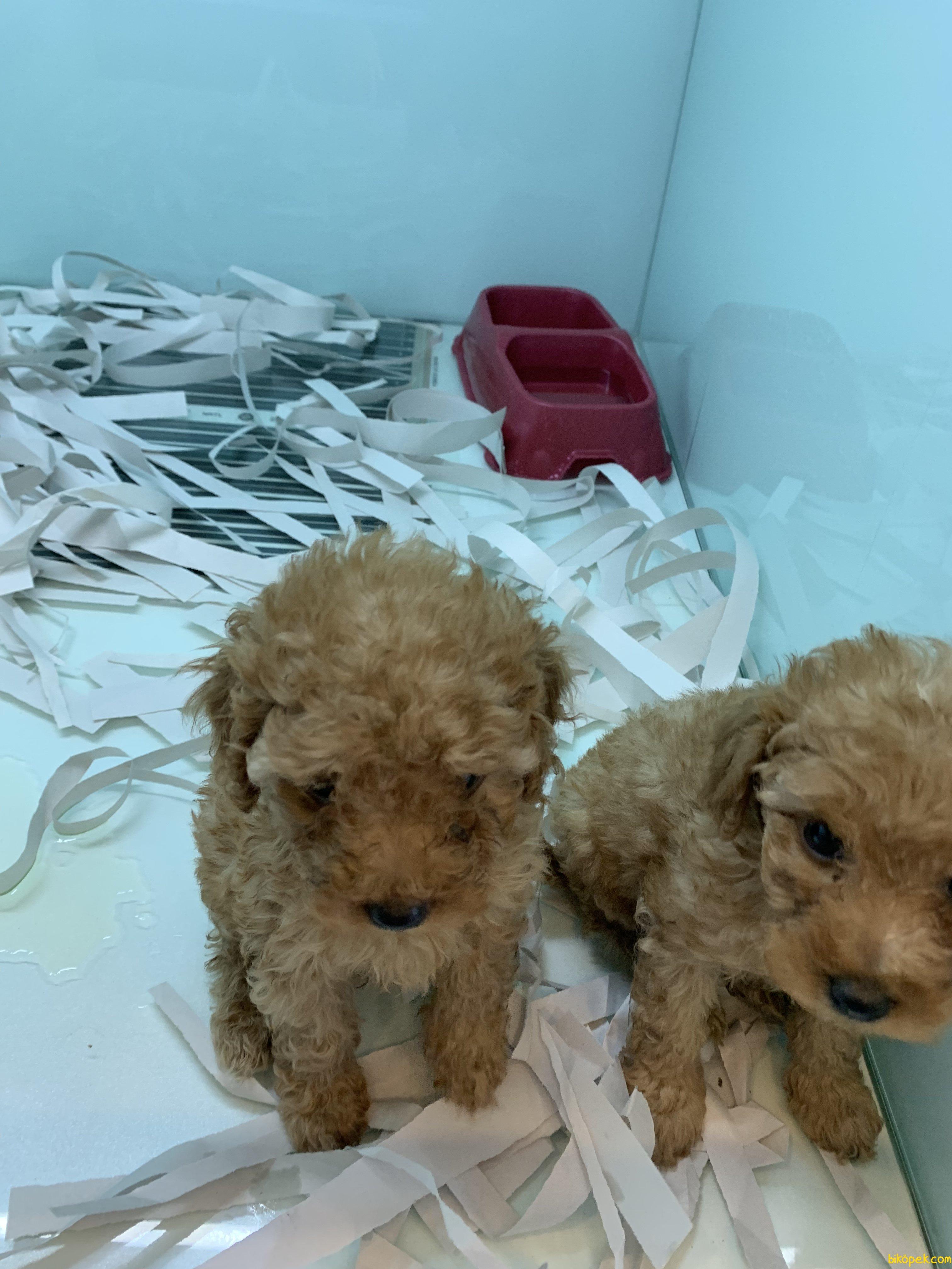En Güzel Red Toy Poodle Yavrularımız 4