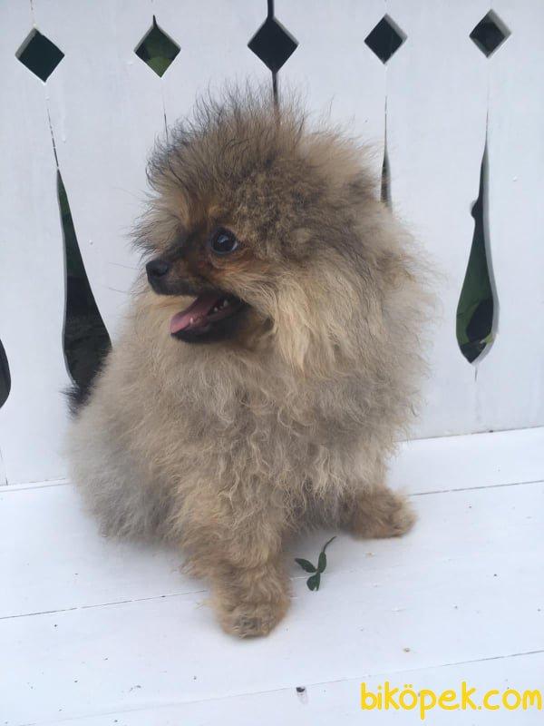 En Güzel Yavru Pomeranian 3