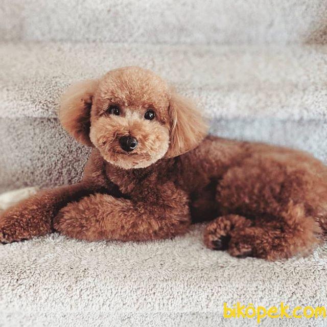 En Iyi Fiyat Garantisi Ile Toy Poodle 4