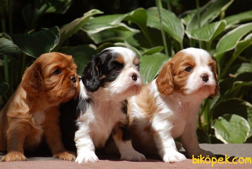 En İyi Kalite Cavalier Bebekler 2
