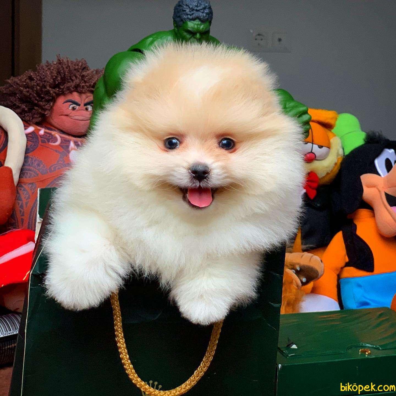 En Iyi Kalıte Tcup Pomeranian Yavrularımız 1