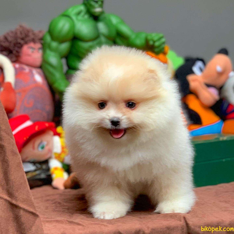 En Iyi Kalıte Tcup Pomeranian Yavrularımız 4