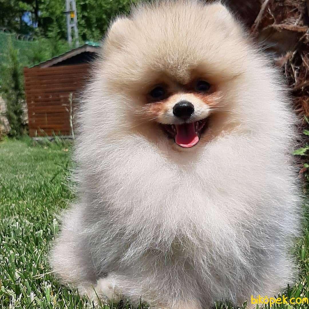 En Sevimli Pomeranian Yavruları Sizleri Bekliyor 5
