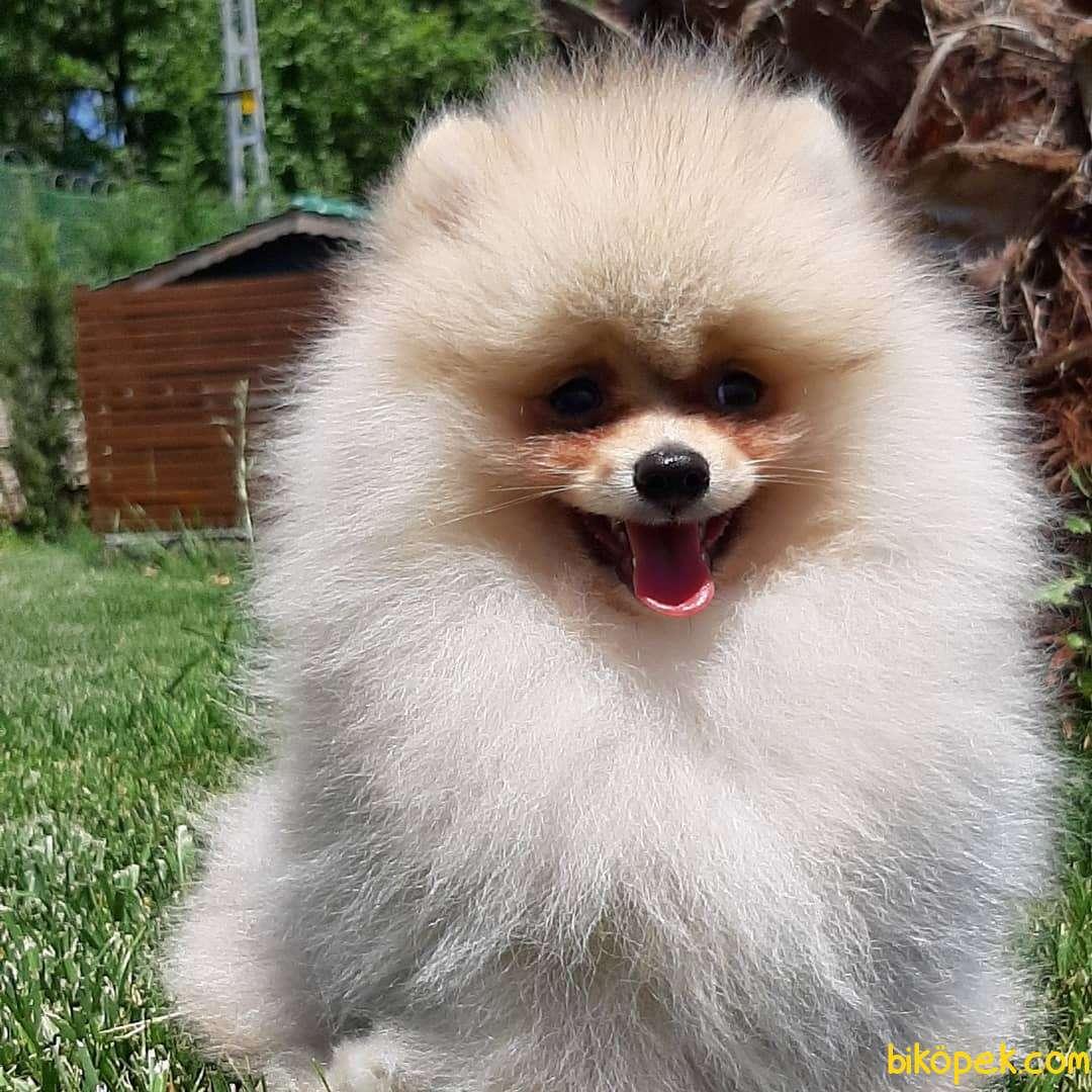 En Sevimli Pomeranian Yavruları Sizleri Bekliyor 2