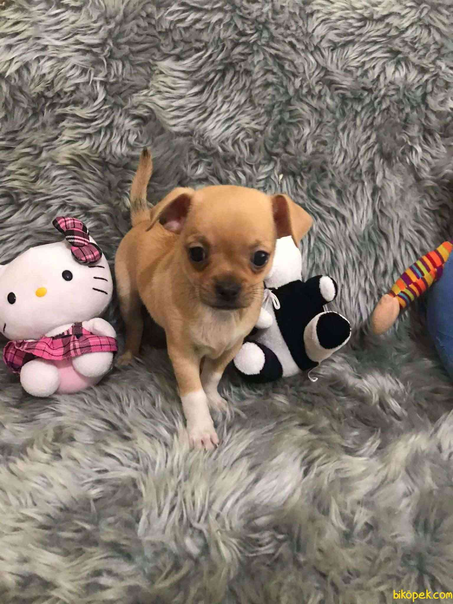 Erkek Bebek Chihuahua 5