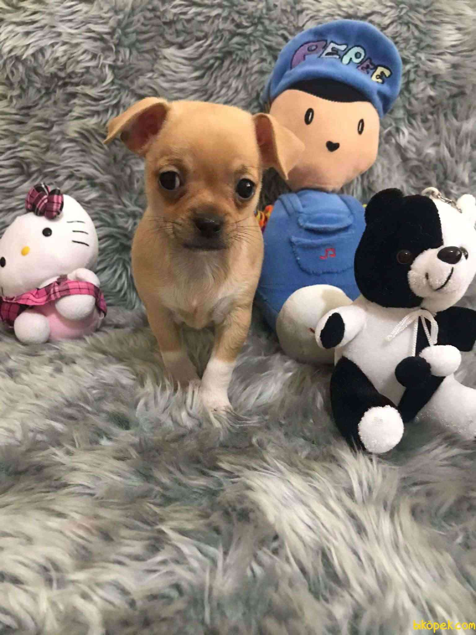 Erkek Bebek Chihuahua 3
