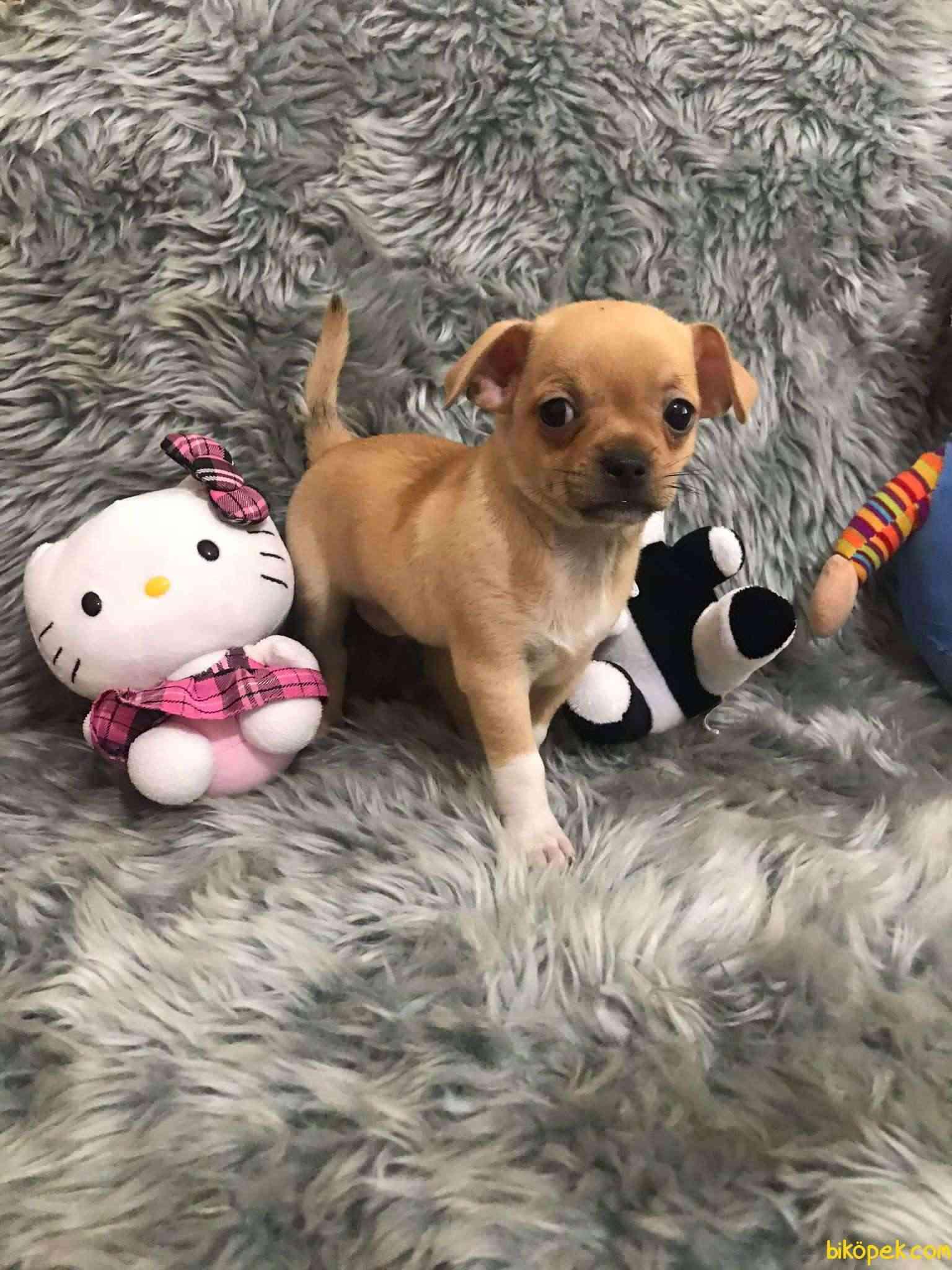 Erkek Bebek Chihuahua 2