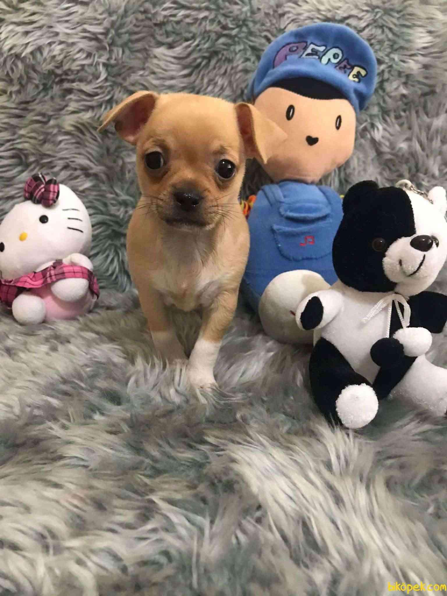 Erkek Bebek Chihuahua 1
