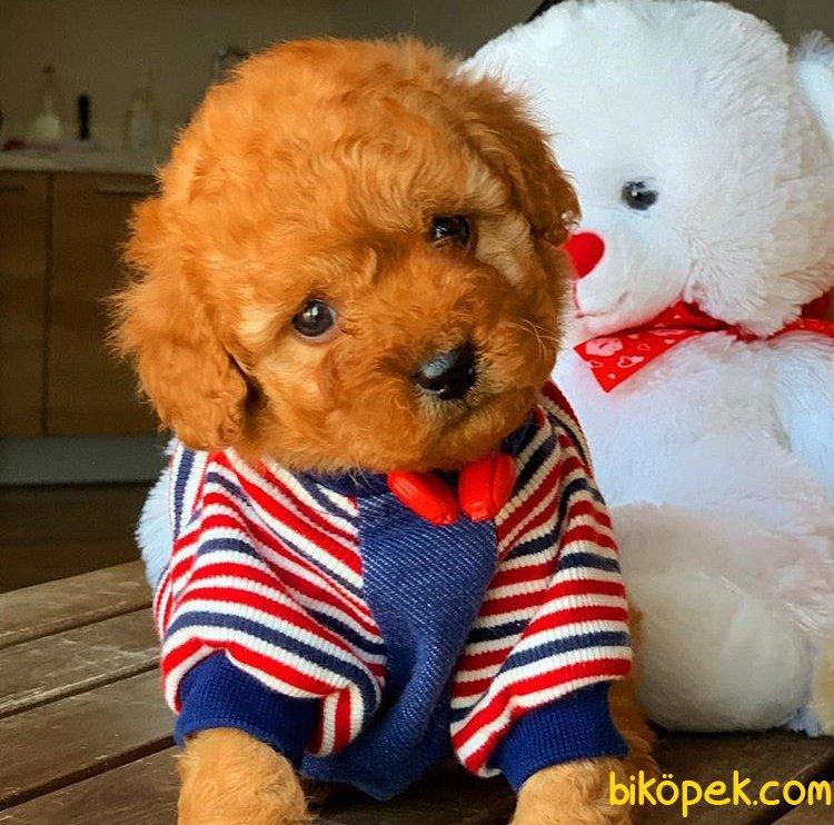 Ev Ortamına Uygun Toy Poodle  Yavrularımız 1
