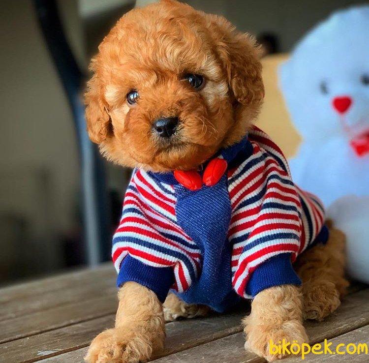 Ev Ortamına Uygun Toy Poodle  Yavrularımız 2