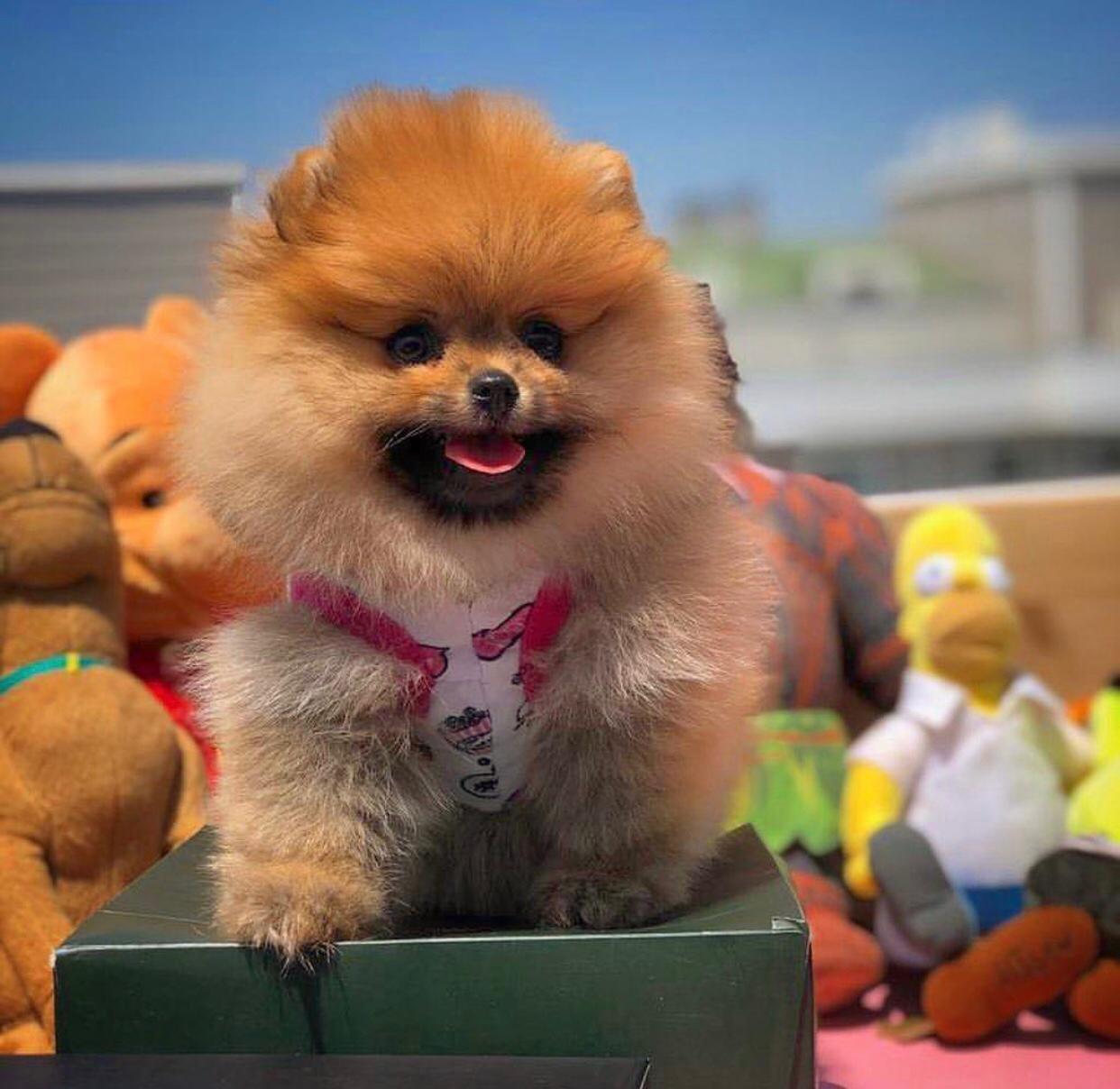 Safkan Irk Garantili Pomeranian Yavruları 3