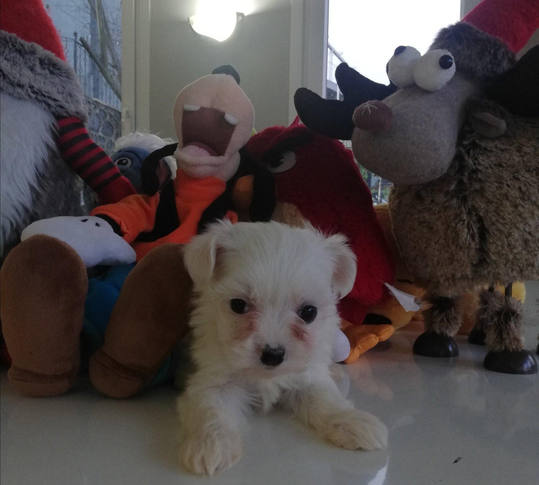 Yavru Maltese Terrierler 1