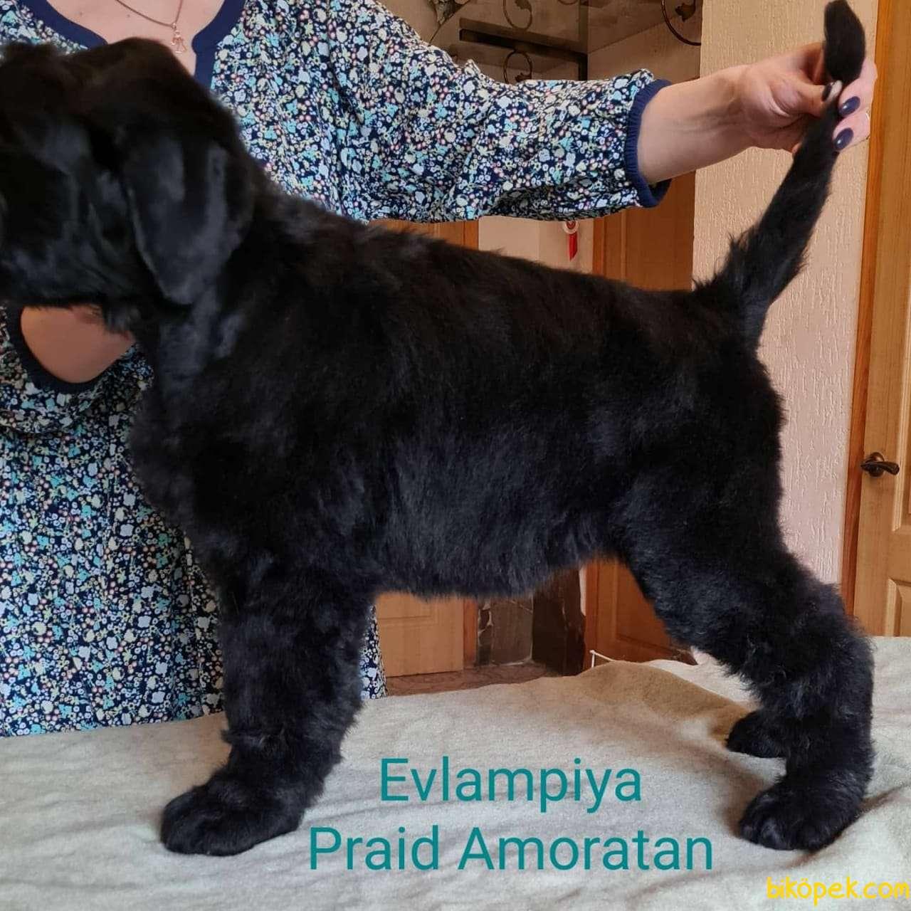 Fci Şecereli Black Russian Terrier 4