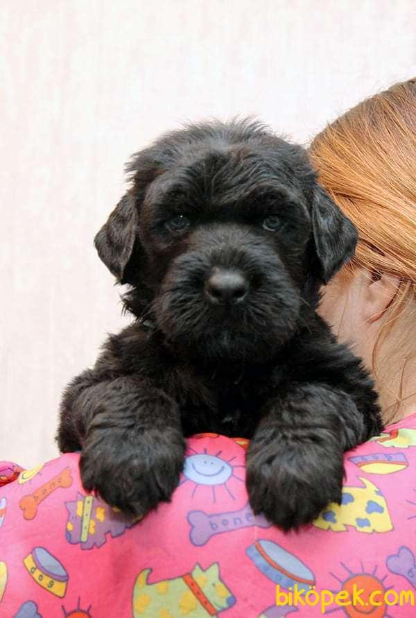 Fci Şecereli Black Russian Terrier 3