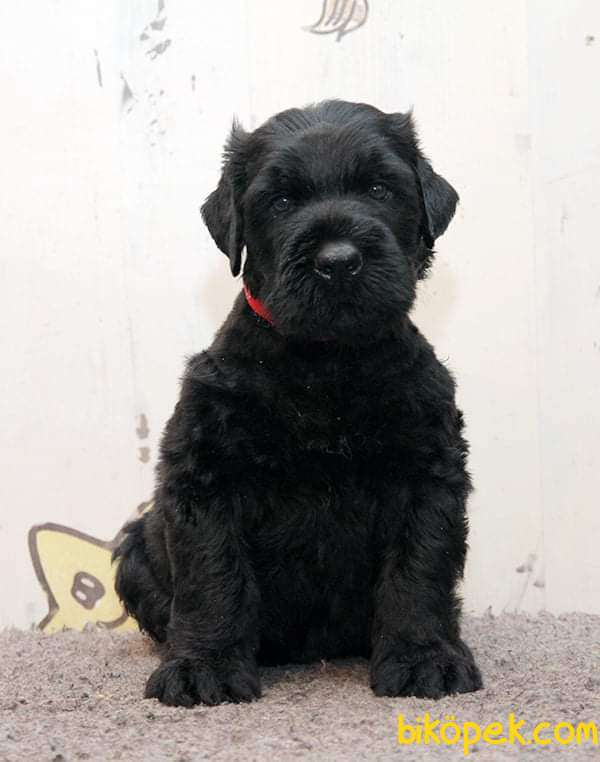 Fci Şecereli Black Russian Terrier 1