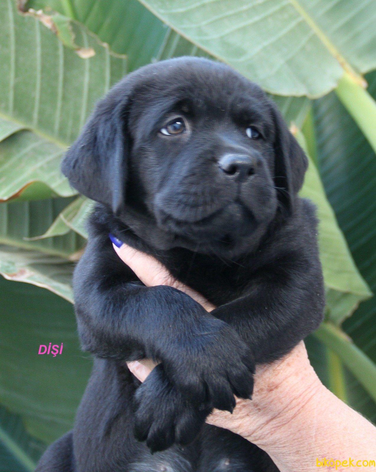 Fci Şecereli Labrador Retriever 5