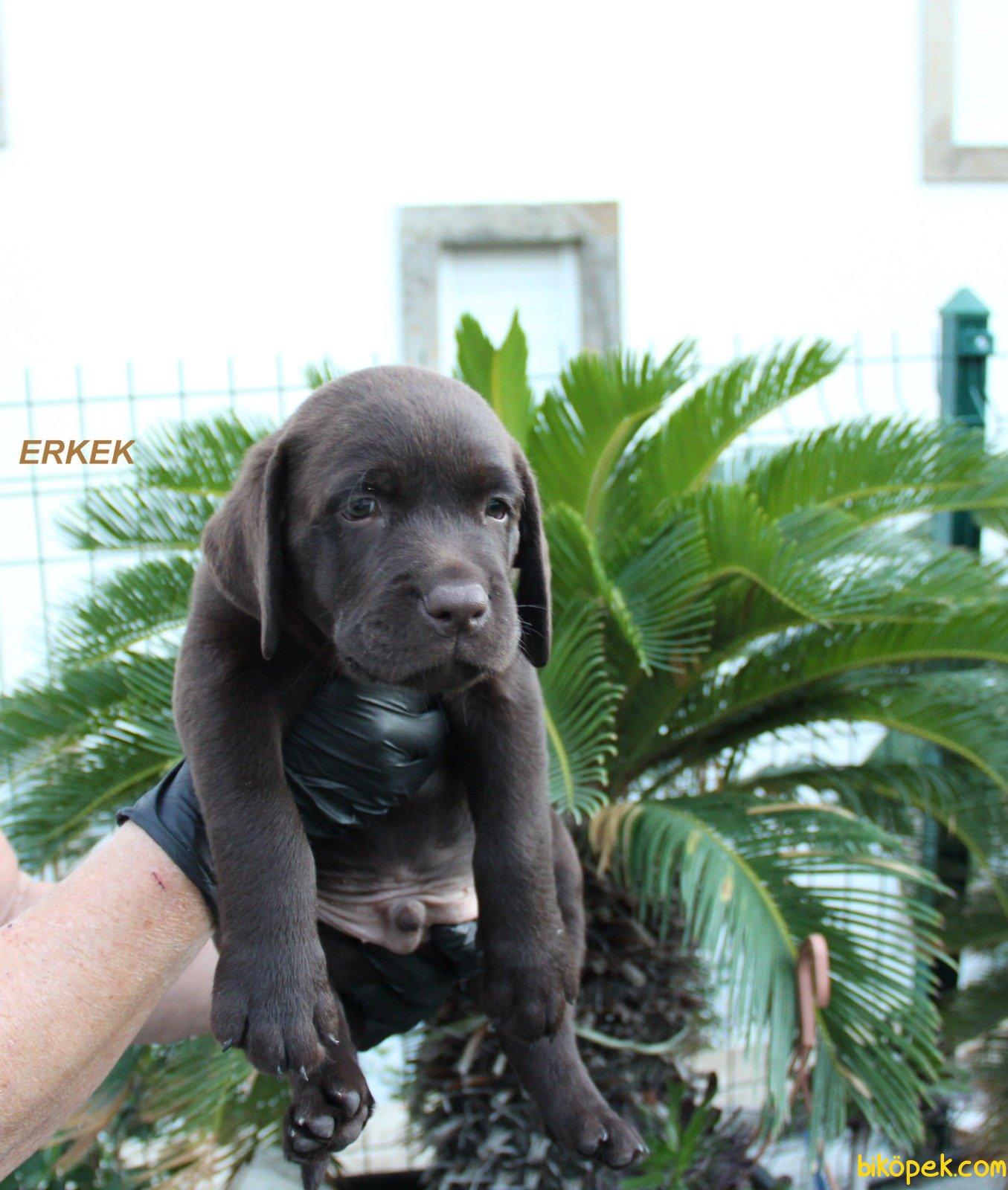 Fci Şecereli Labrador Retriever 1