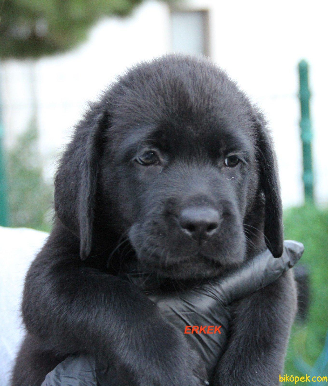 Fci Şecereli Labrador Retriever 3