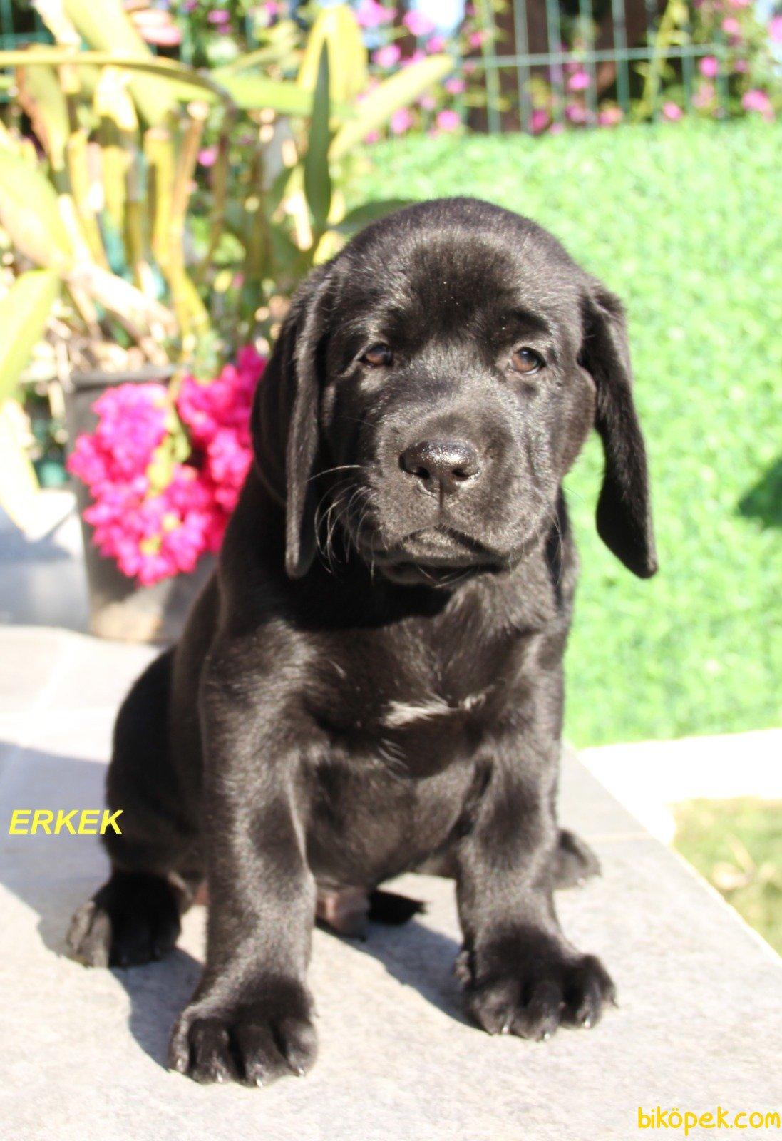 Fci Şecereli Labrador Retriever 2