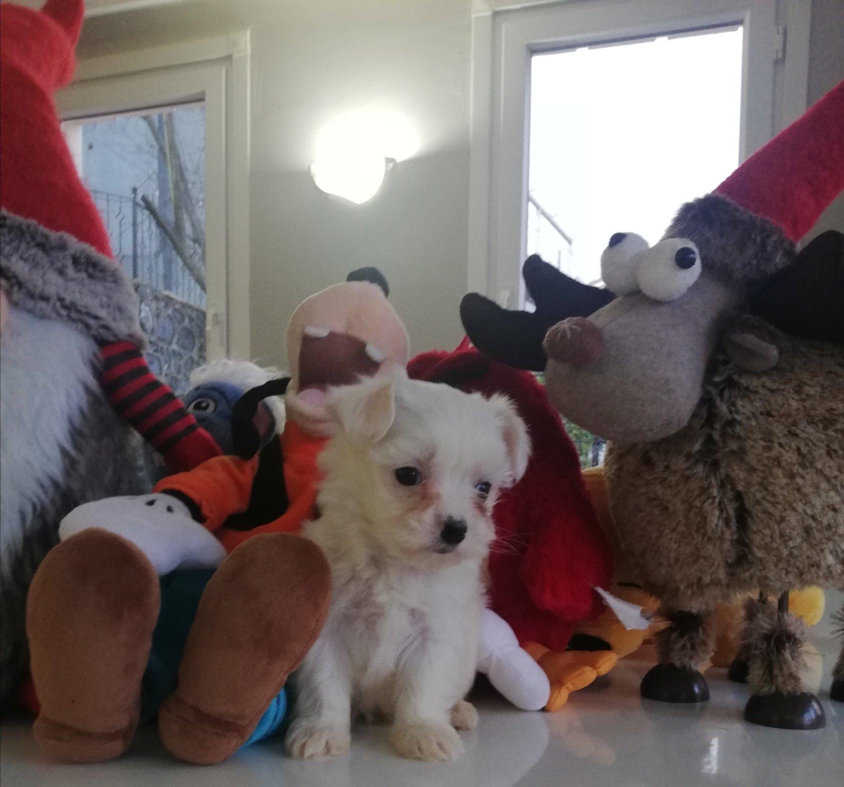 Yavru Maltese Terrierler 3