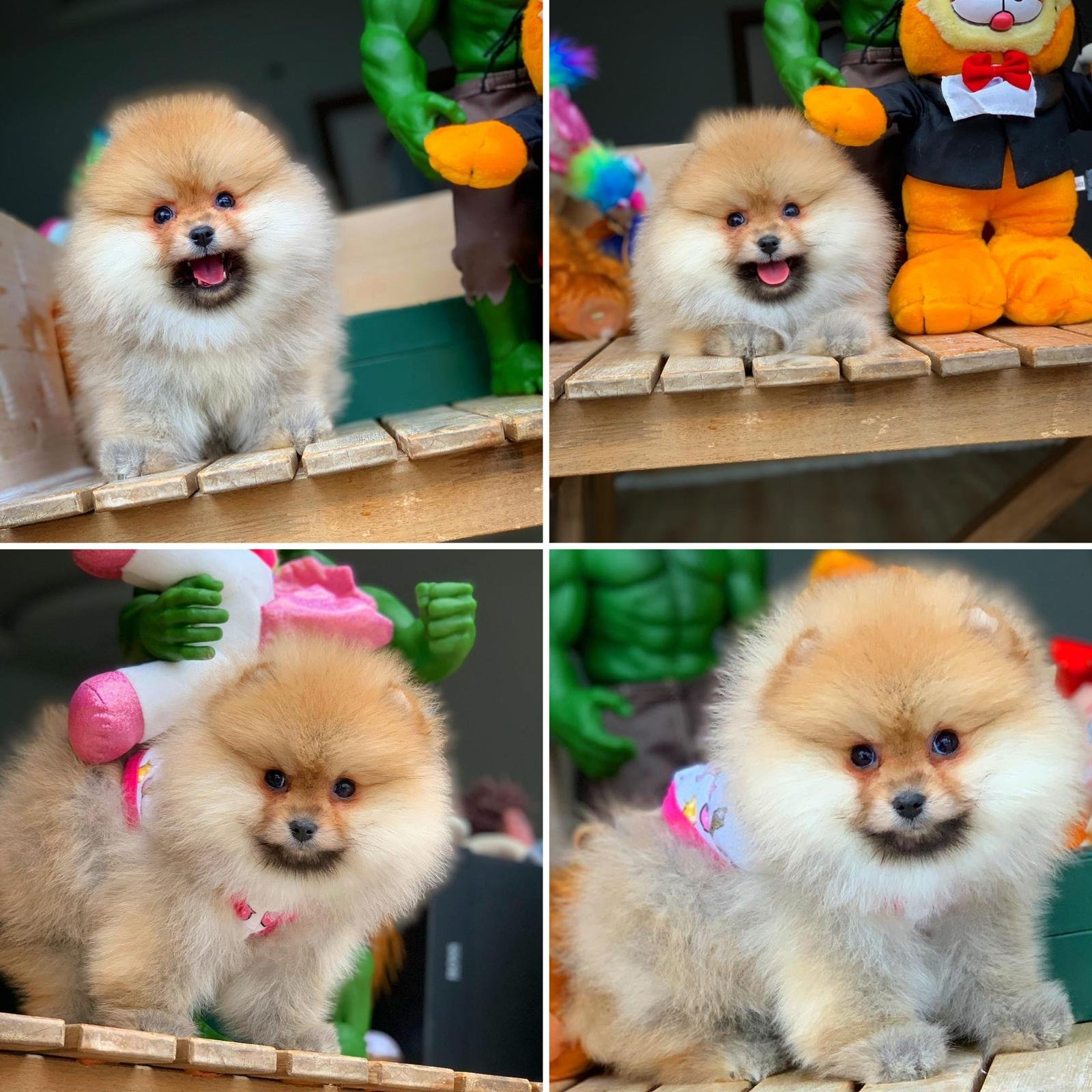 MiniBoy PomeranianBoo Kızımız 1