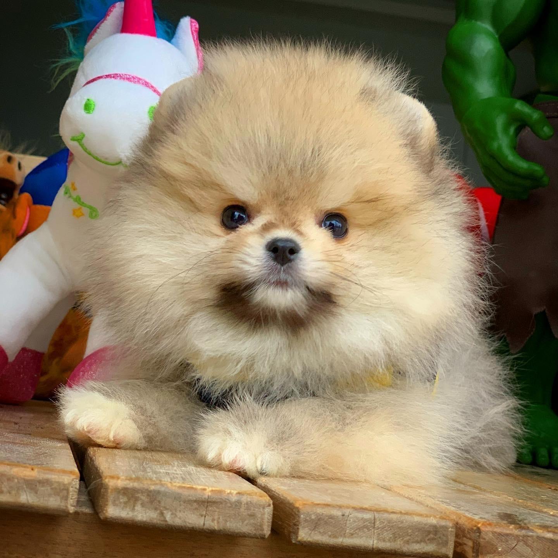 Show Kalite PomeranianBoo Yavrumuz 4