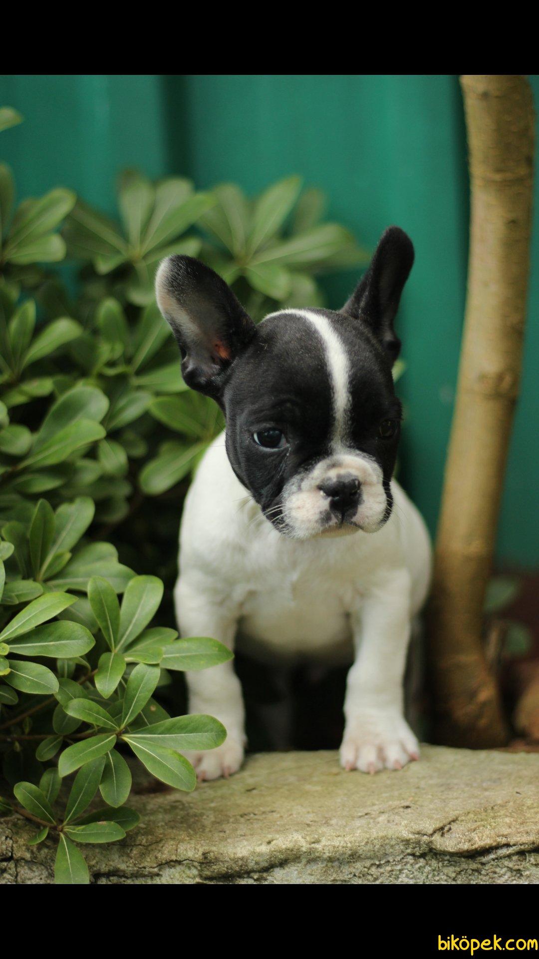 French Bulldog 'Akkuş Üretim Çiftliği' 5