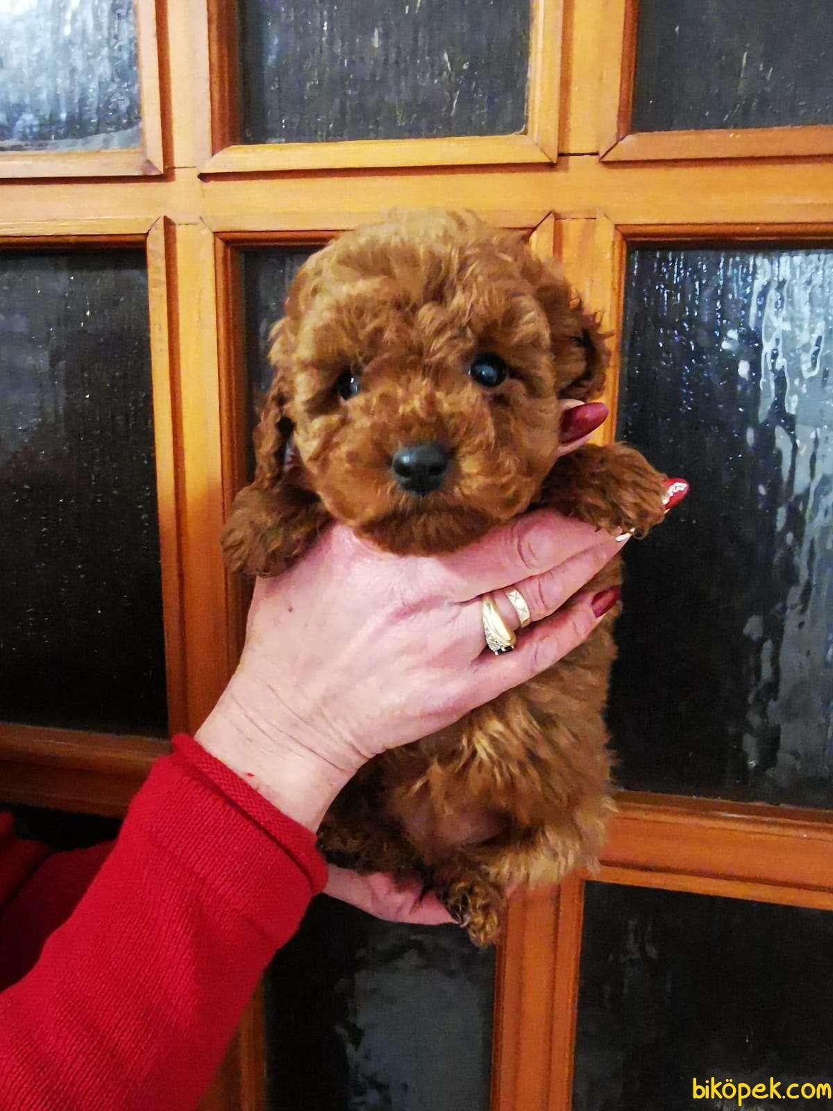 Gerçek Toy Ve Teacup Red Brown Safkan Poodle Yavruları 1