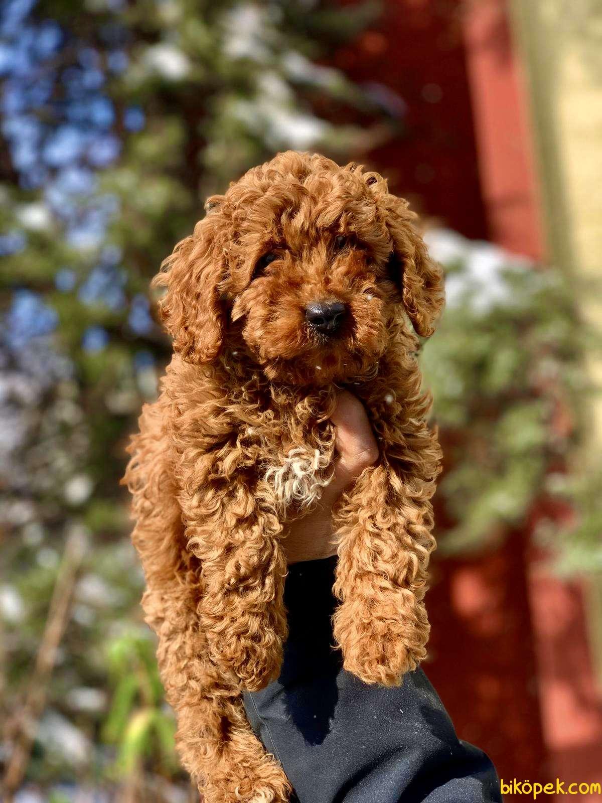 Gerçek Toy Ve Teacup Red Brown Safkan Poodle Yavruları 5