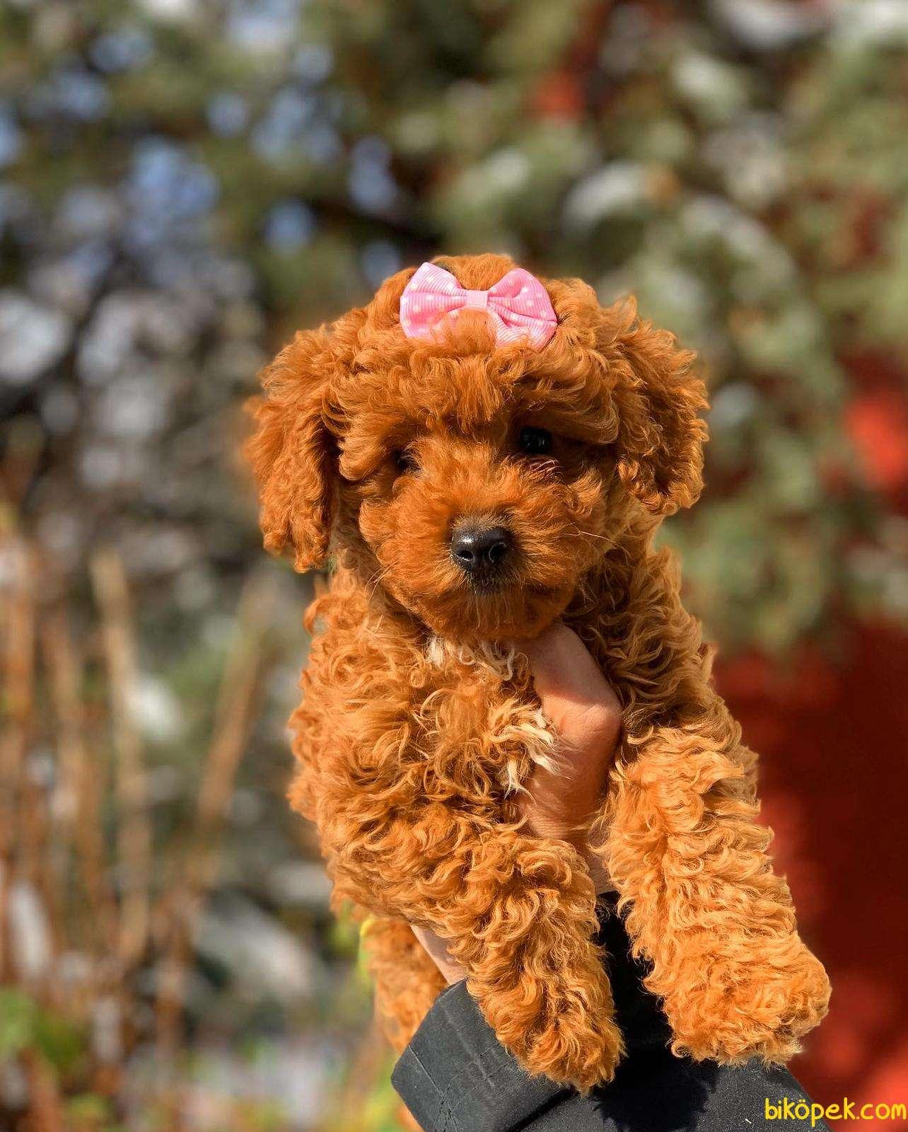 Gerçek Toy Ve Teacup Red Brown Safkan Poodle Yavruları 2