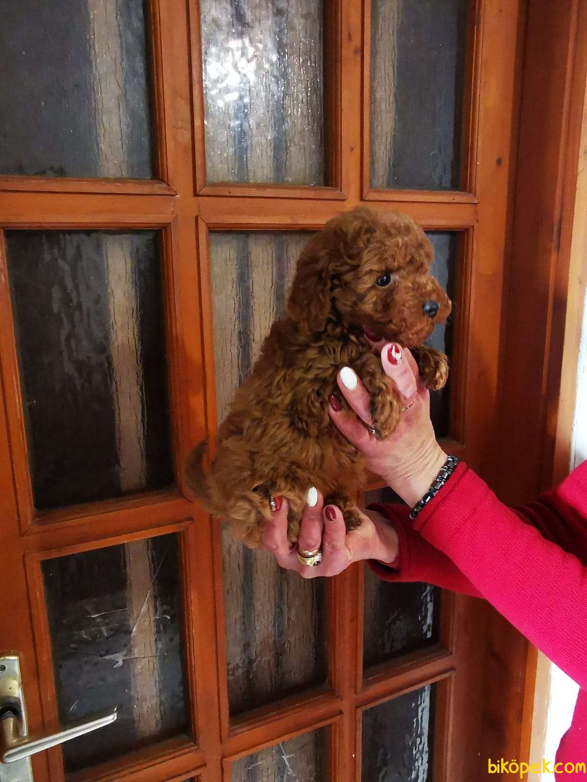 Gerçek Toy Ve Teacup Red Brown Safkan Poodle Yavruları 3