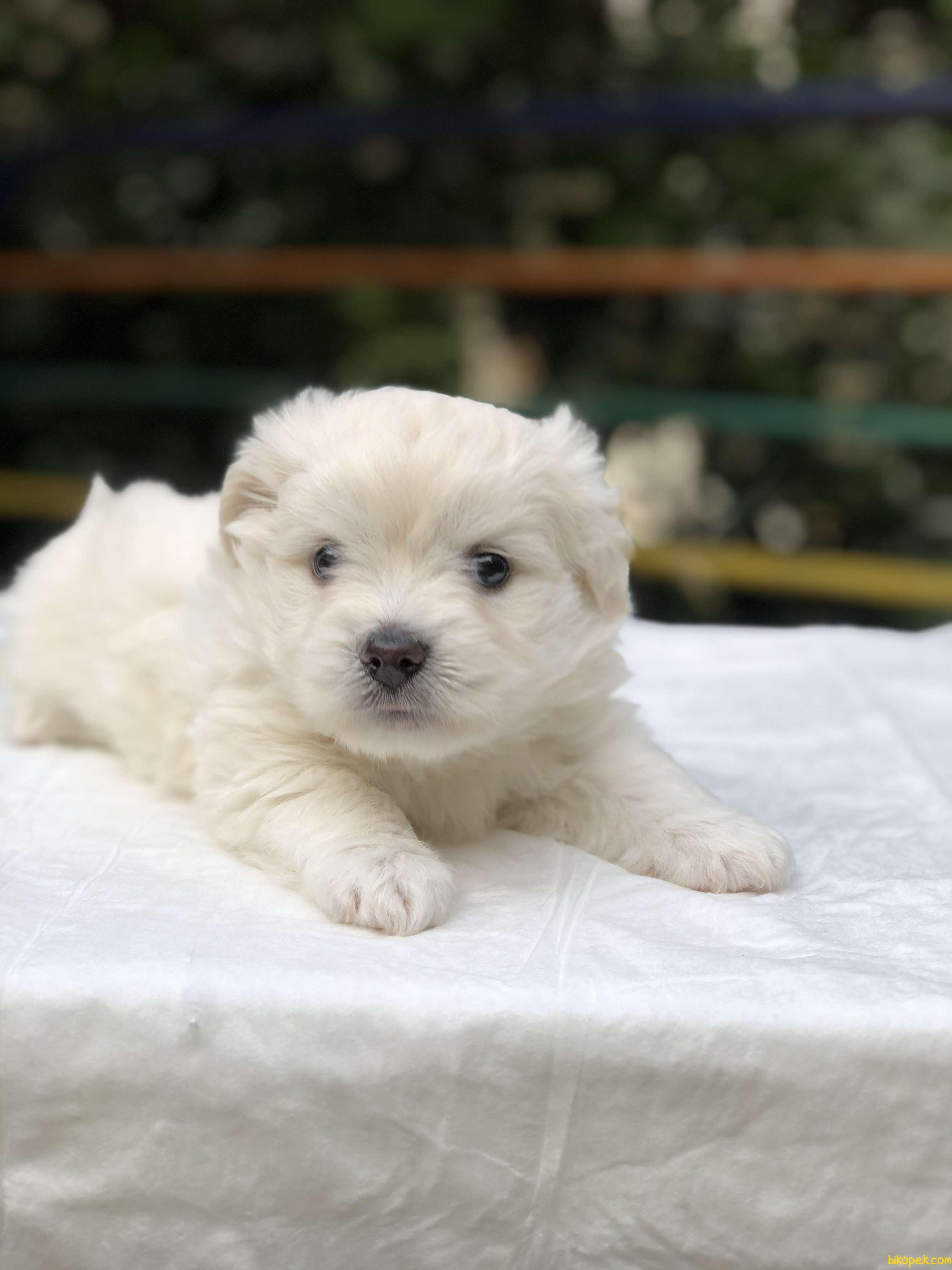 Güzeller Güzeli Maltese Terrier Yavrumuz Sağlık Ve Irk Garantili 1