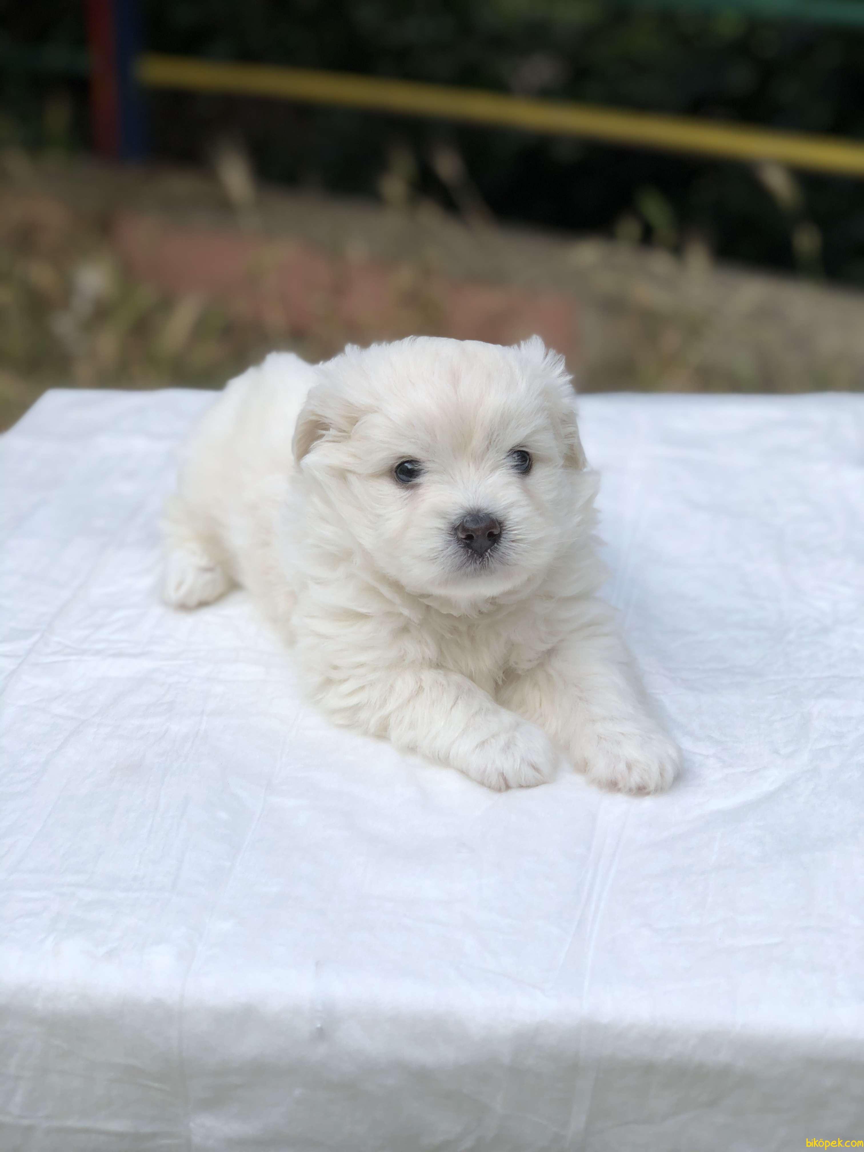 Güzeller Güzeli Maltese Terrier Yavrumuz Sağlık Ve Irk Garantili 2