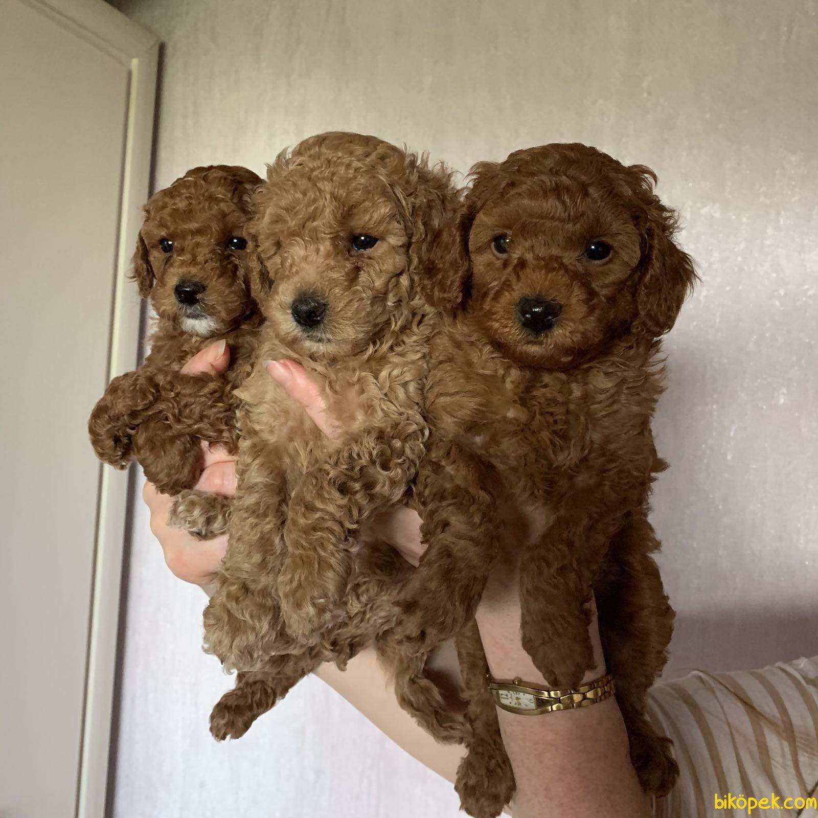 Her Renk Poodle Bebeklerimiz Orjinal Tea Cup Ve Toy 1