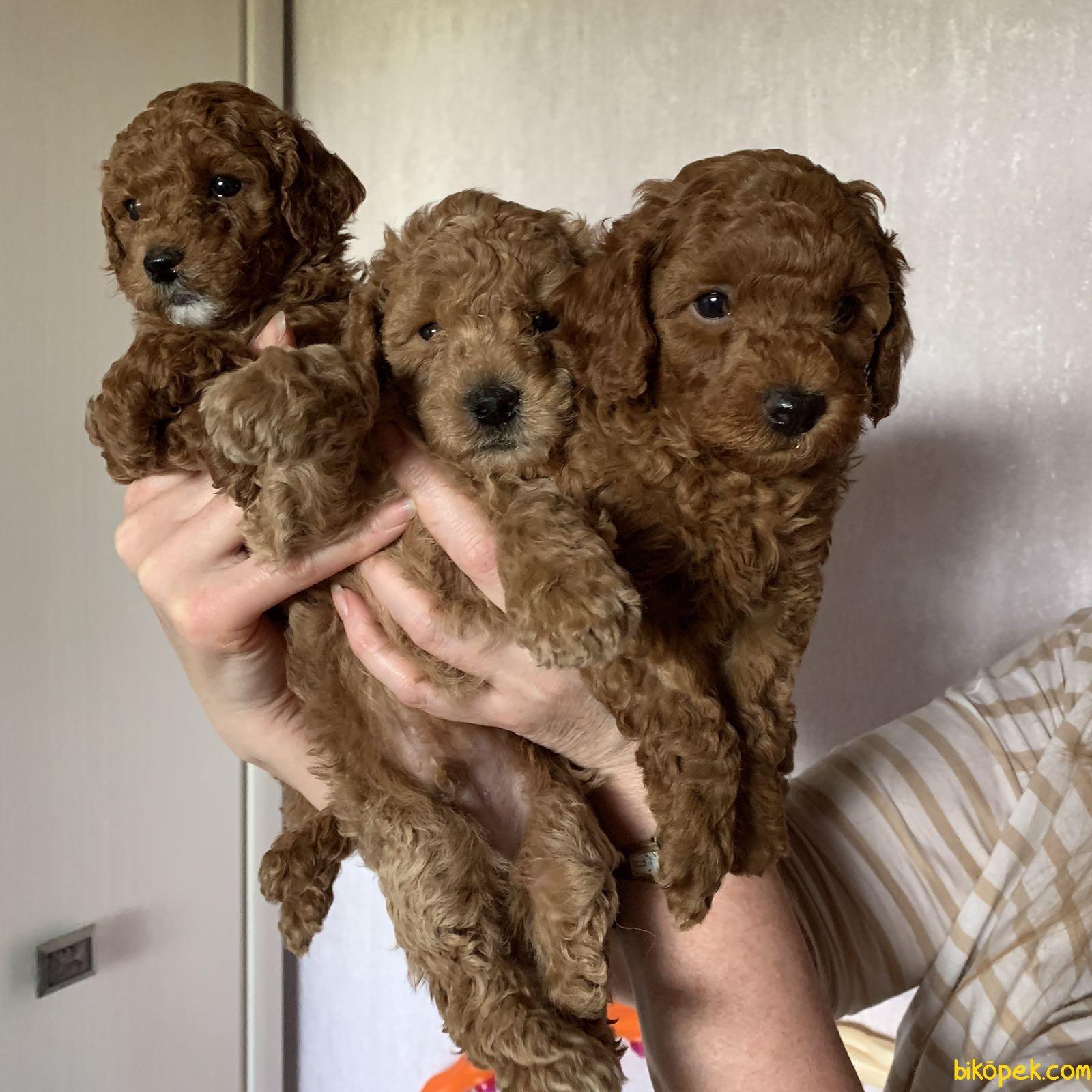 Her Renk Poodle Bebeklerimiz Orjinal Tea Cup Ve Toy 4