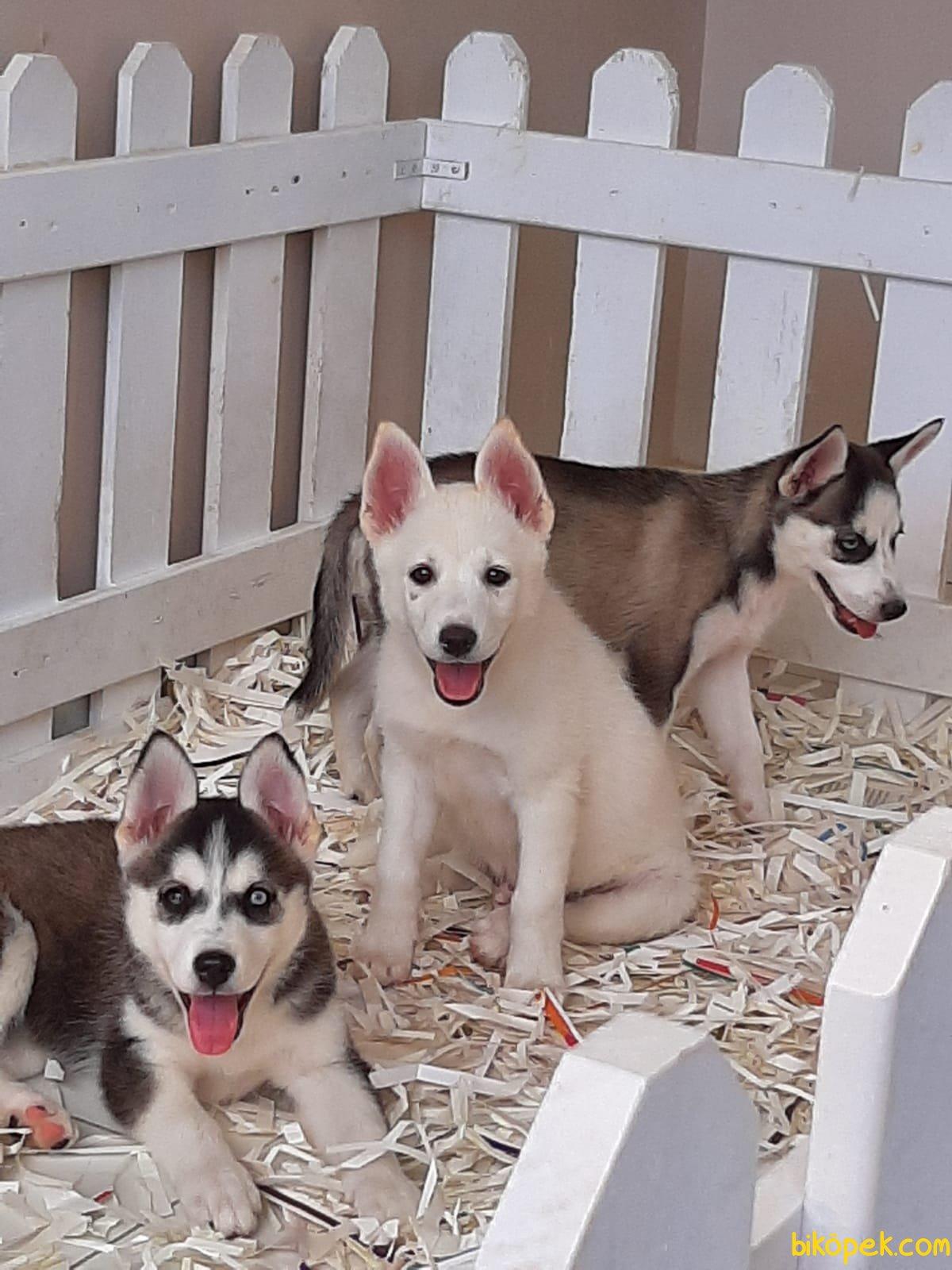Husky (sibirya Kurdu) Yavruları 2