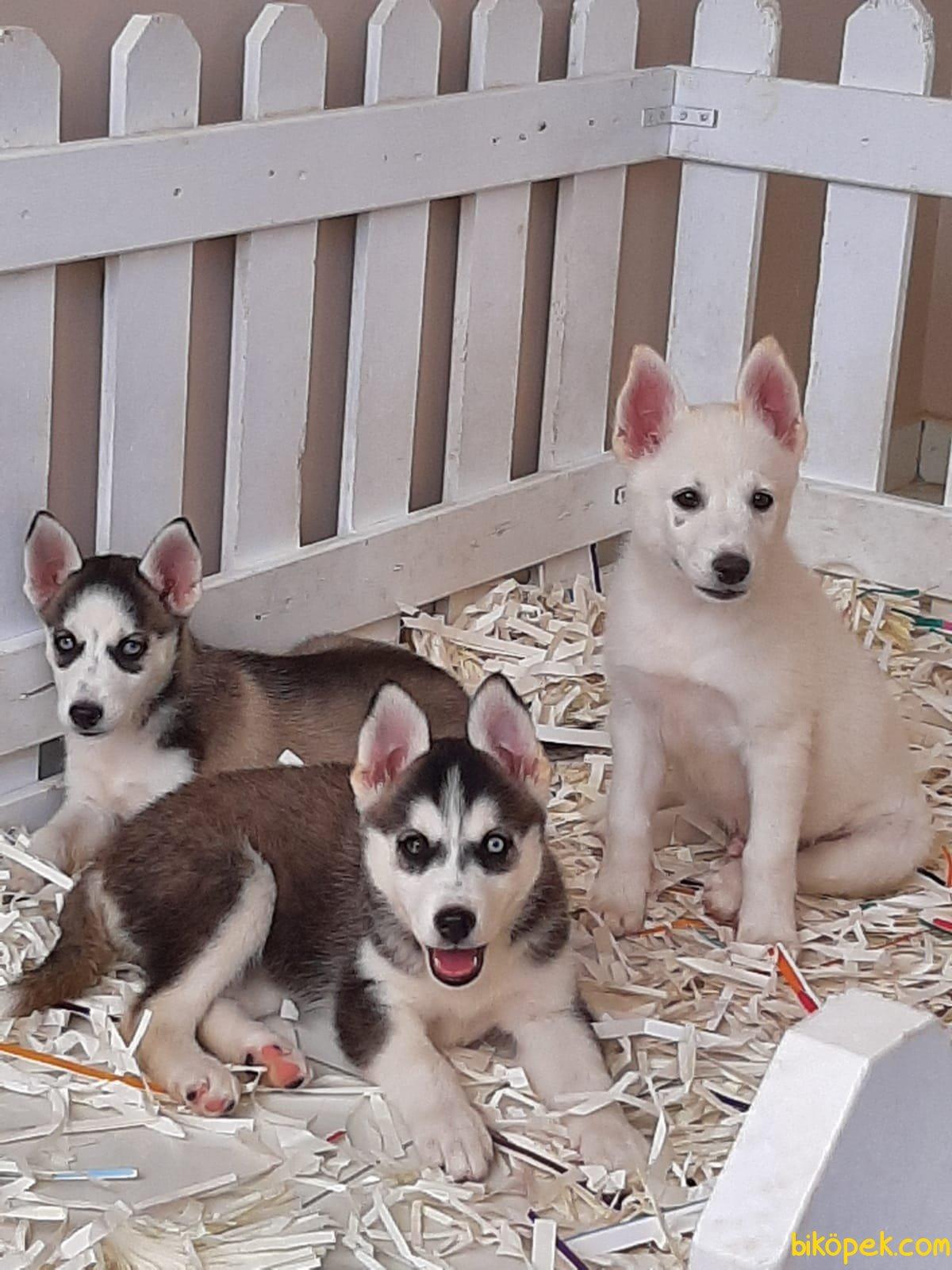 Husky (sibirya Kurdu) Yavruları 1