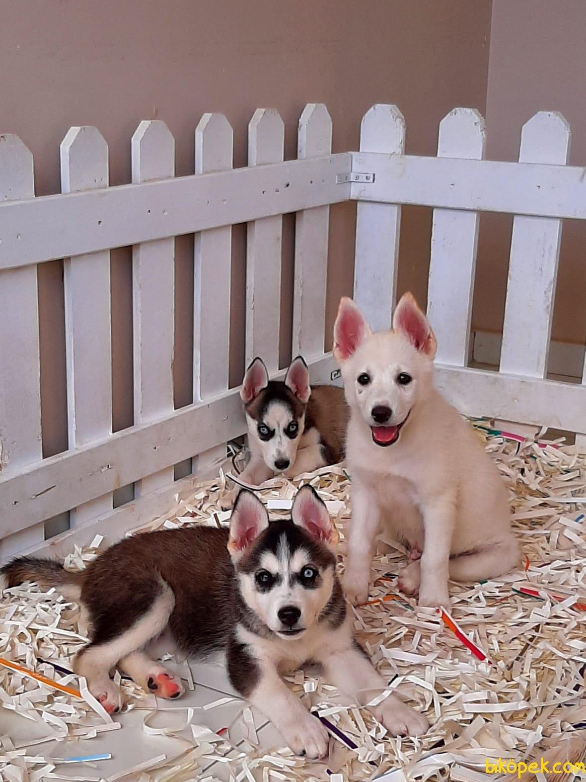 Husky (sibirya Kurdu) Yavruları 3