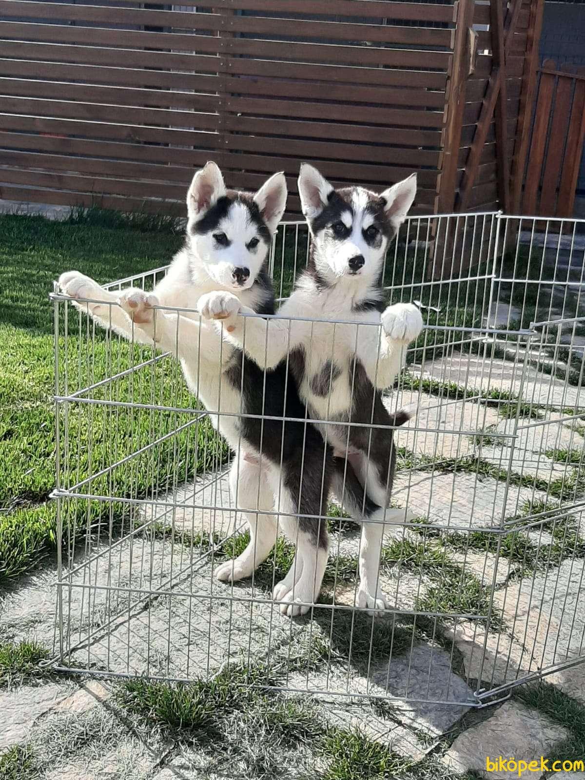 Husky (sibirya Kurdu) Yavruları (EVE TESLİM) 4
