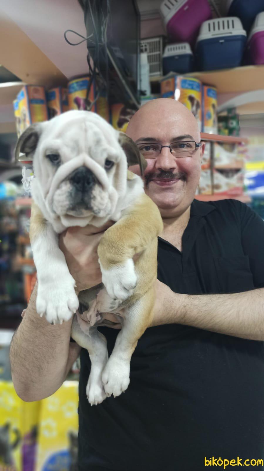 İngiliz Bulldog Yavruları Üst Segment Irkı Bilenler Takdir Edecek 4