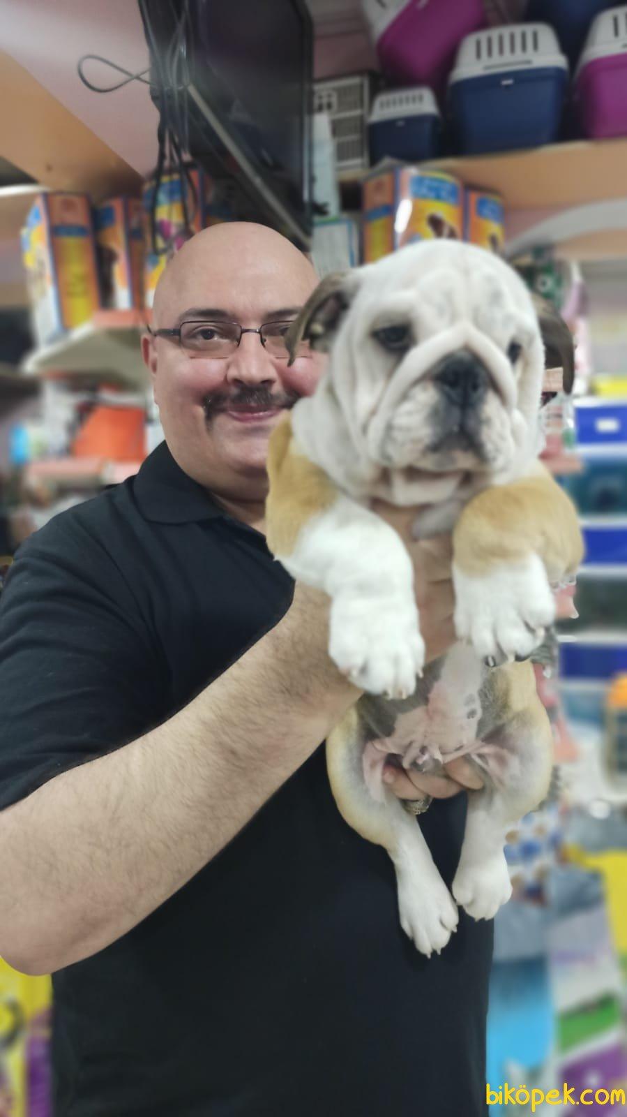 İngiliz Bulldog Yavruları Üst Segment Irkı Bilenler Takdir Edecek 3